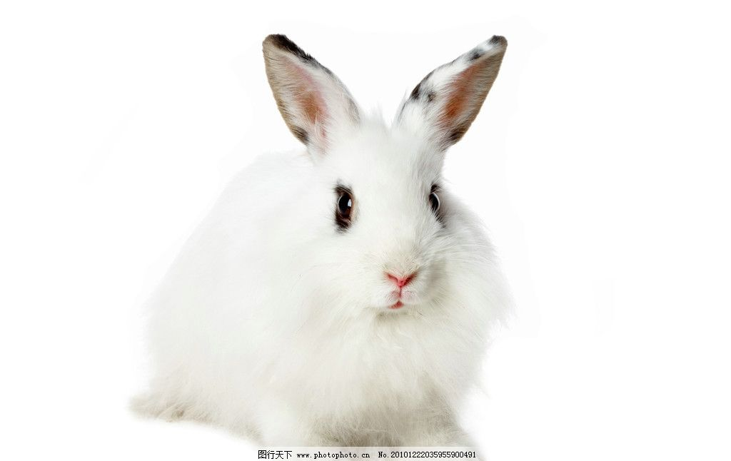 兔子高清 家兔 小兔子 可爱 兔年 宠物 野兔 野生动物 摄影