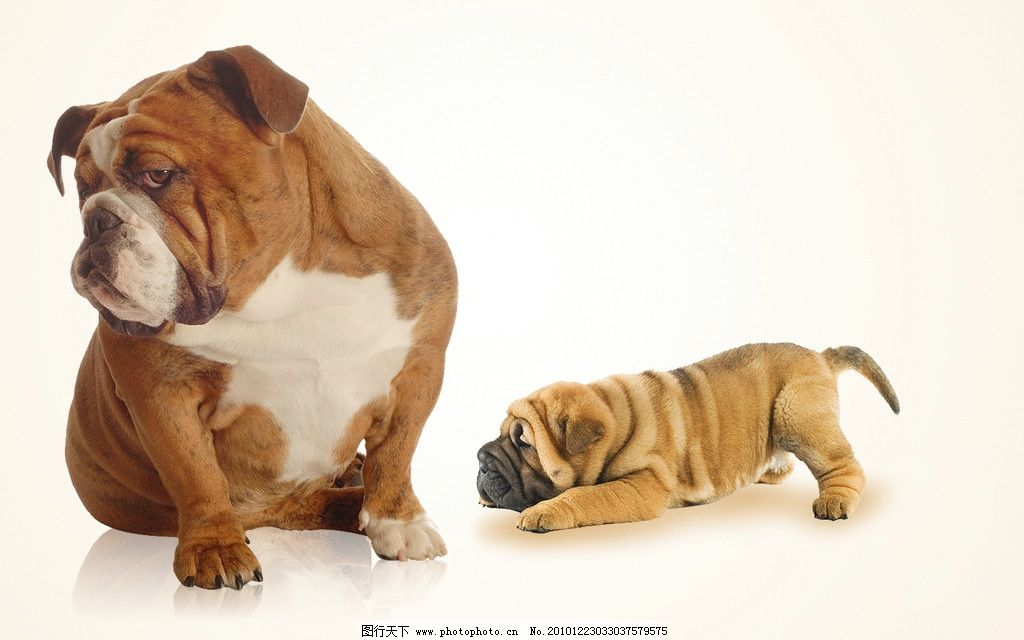 小狗 狗 可爱的狗 宠物狗 黄狗 沙皮狗 psd分层素材 源文件 300dpi