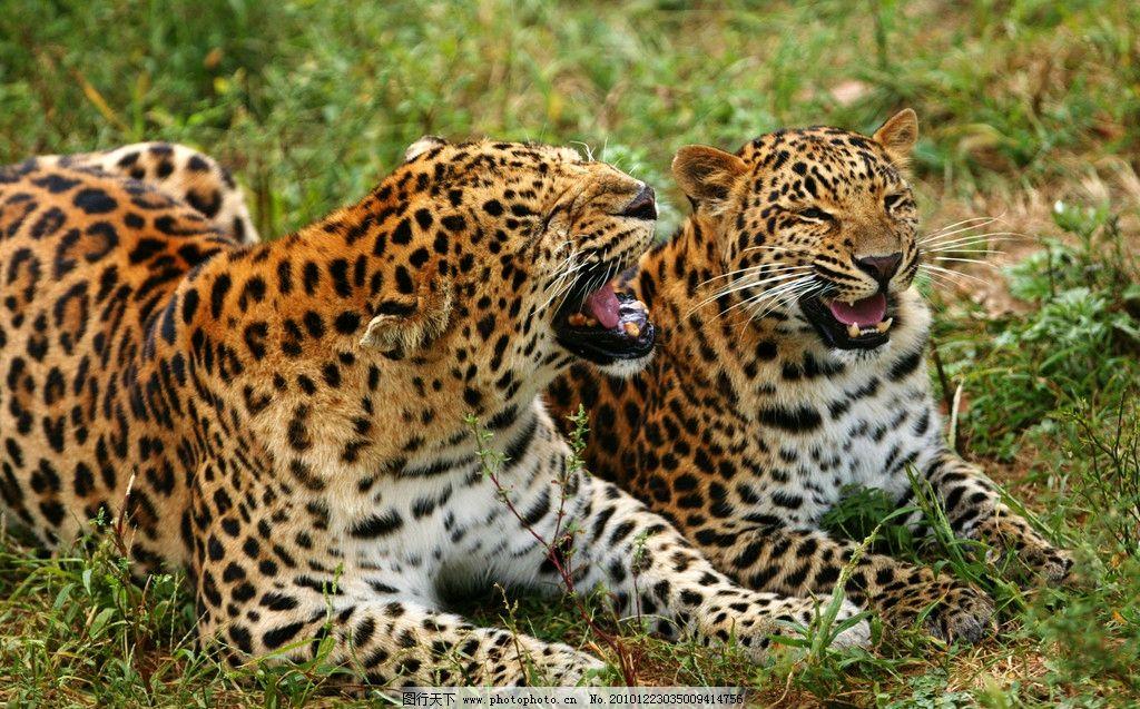 豹 豹子 壁纸 动物 虎 老虎 桌面 1024_637