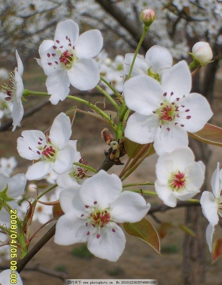 梨花 洁白 花瓣 花蕾 春天 芬芳 绽放 花草 生物世界 摄影 96dpi jpg
