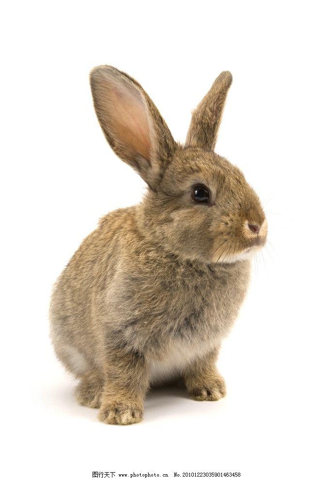 高清图片 兔子 家兔 小兔子 可爱 兔年 宠物 野兔 生物世界 野生动物