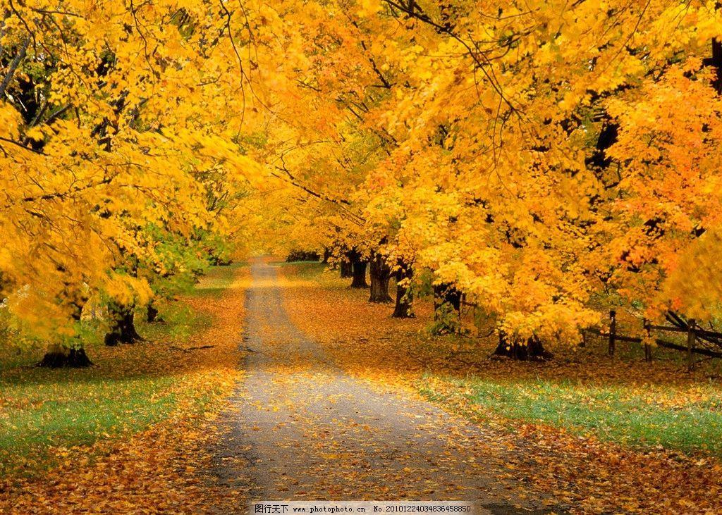 秋日枫树 枫树 黄叶 红叶 秋天风景 路 落叶 胡杨树 草地 树枝 摄影