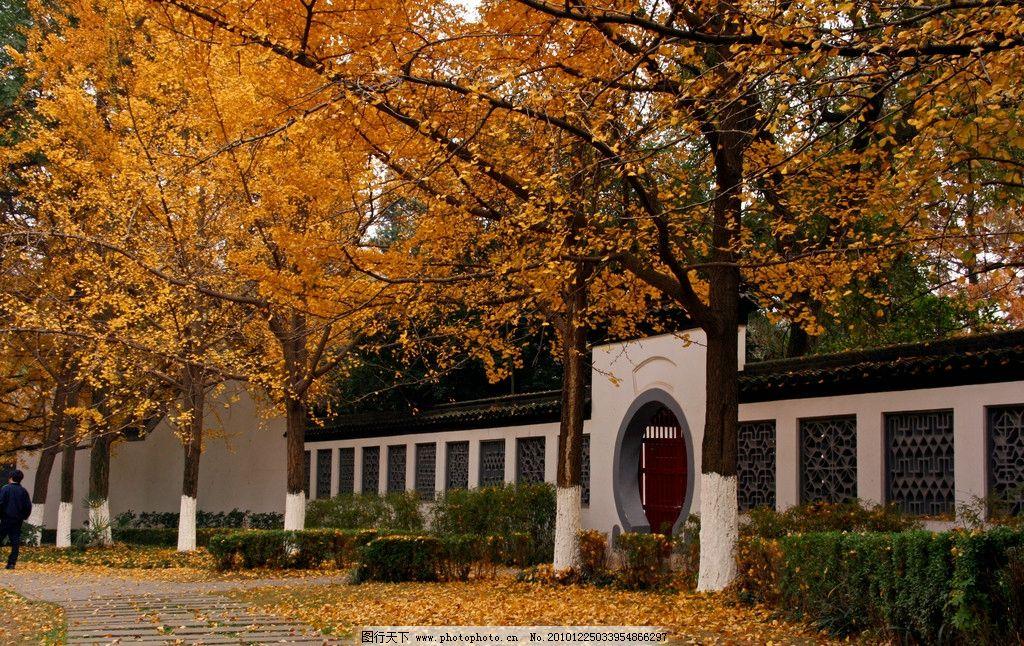 园林秋色 秋景 落叶 围墙 树木 大树 秋季 银杏树 国内旅游