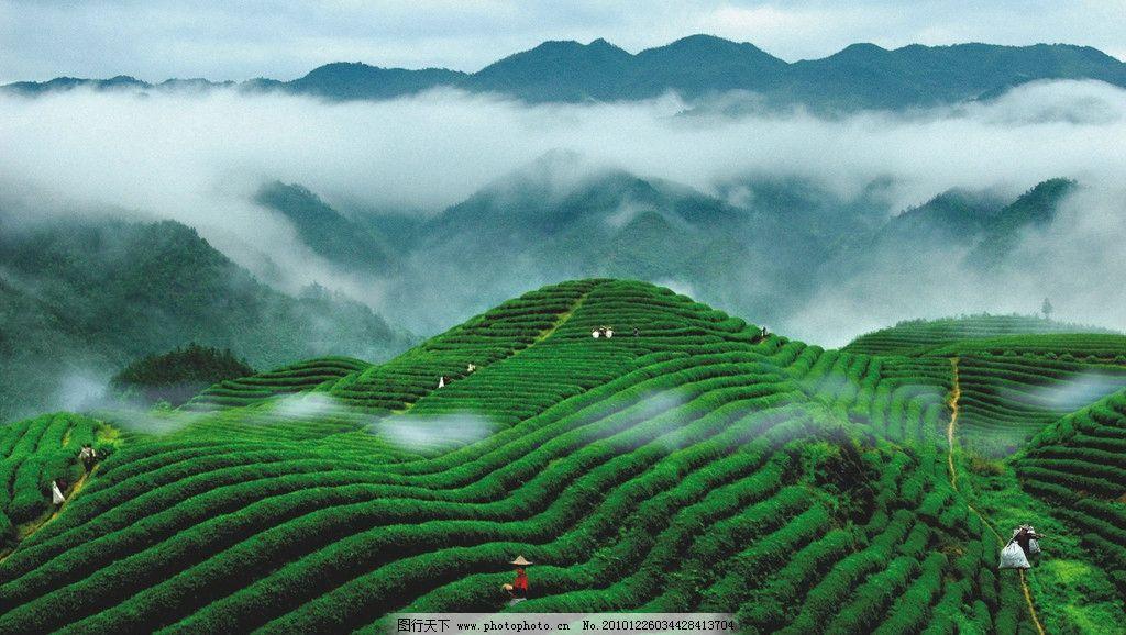 茶叶背景图片_山水风景