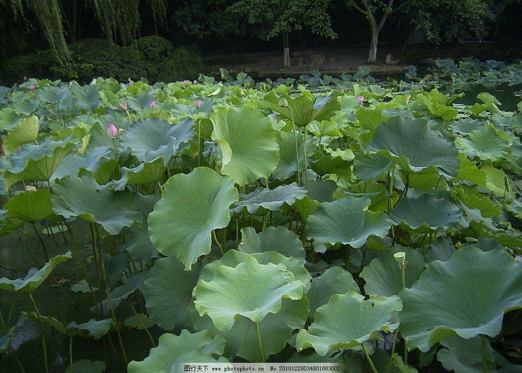 荷塘绿叶 荷花 荷叶 绿色叶子 莲藕 荷塘 自然风景 自然景观 摄影 72