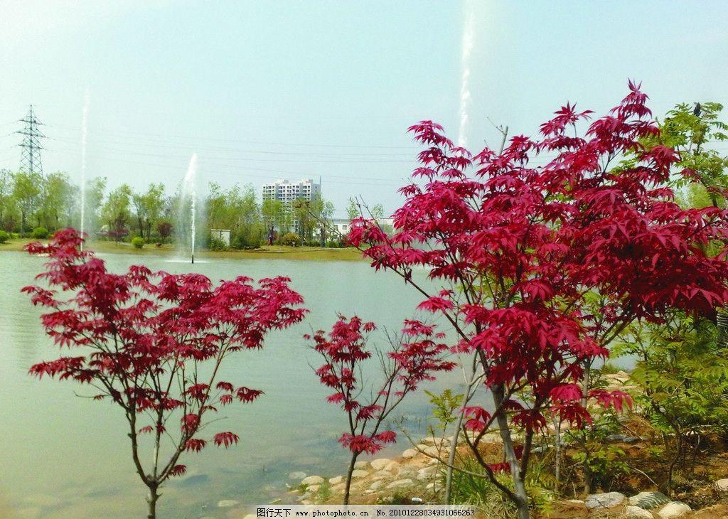 枫叶 河流 高楼 绿叶 树木 河岸 岸边 摄影 自然风景