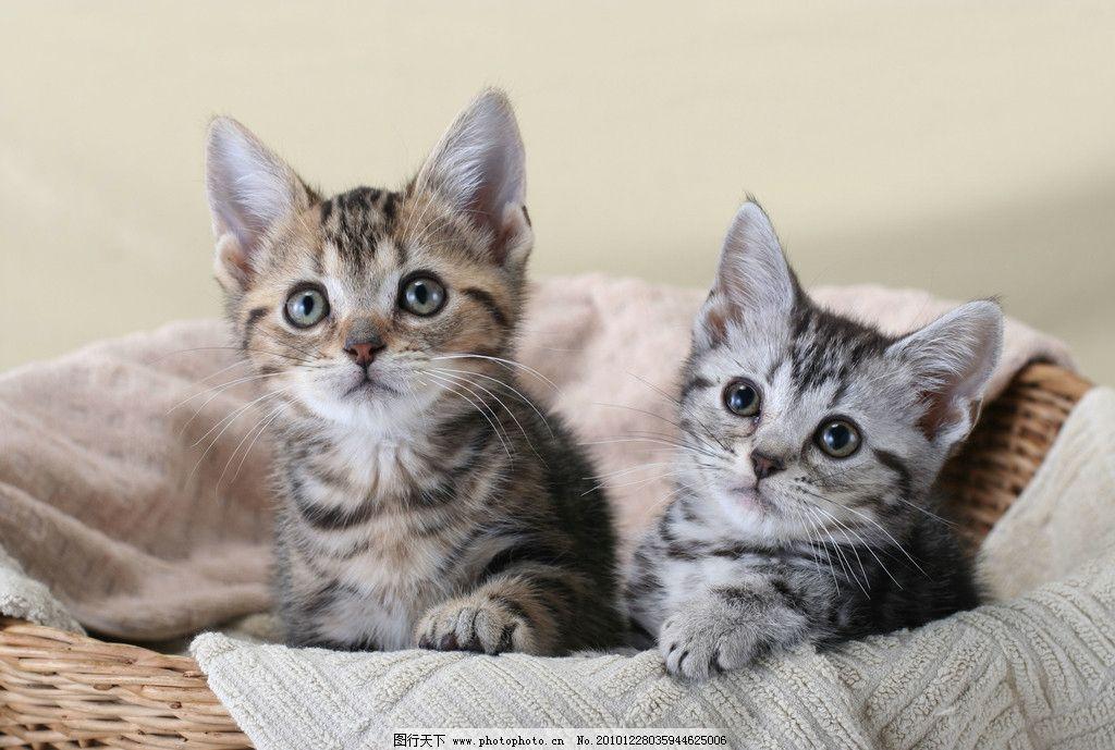宠物猫 两只小花猫