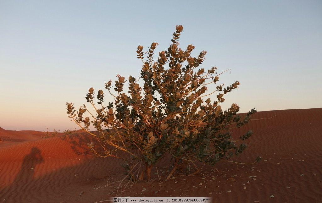 沙漠的生命 摄影 旅游 国外 阿联酋 迪拜 沙漠 黄昏 树 自然风景 自然