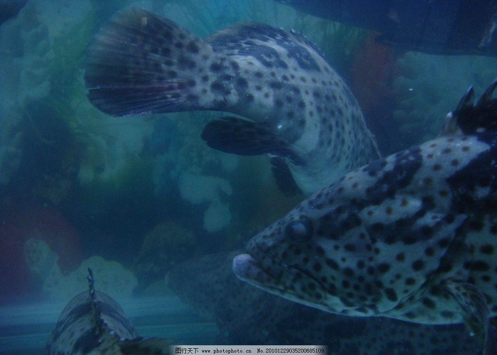 大鱼 红鱼 鱼 黑石斑鱼 红石斑鱼 深海石斑 海洋生物 生物世界 鱼类