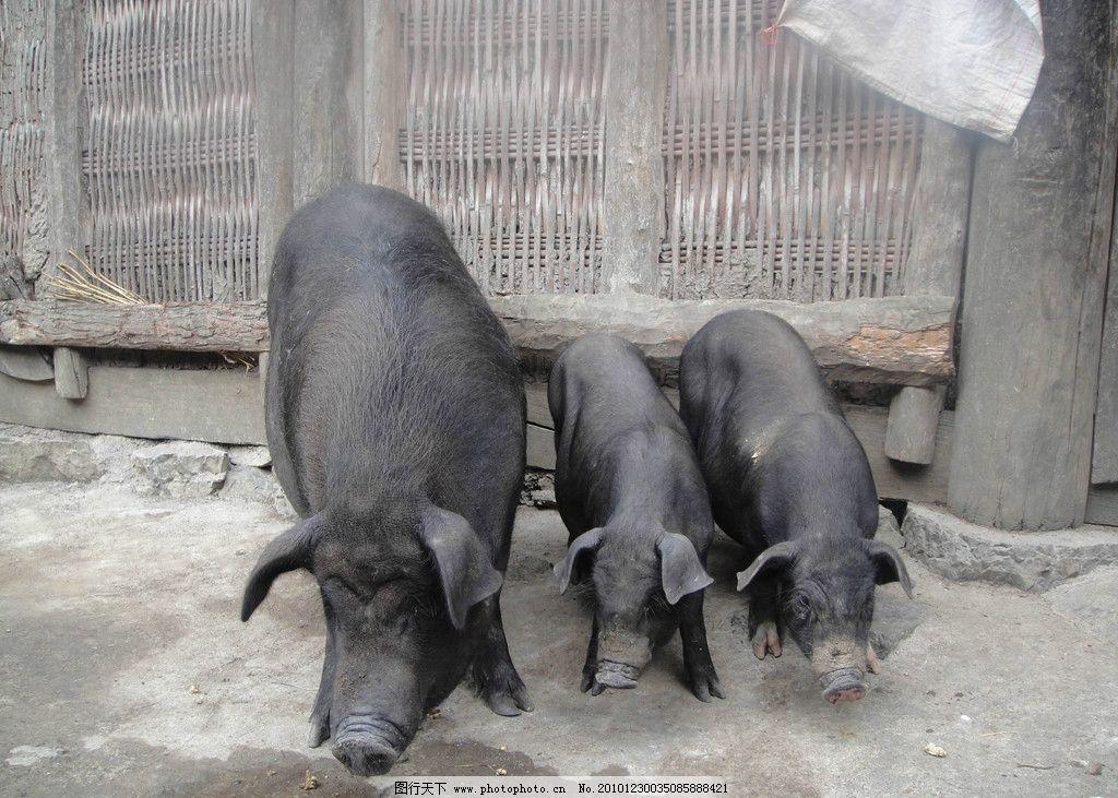 黑土猪 黑猪 猪 野生动物 生物世界 摄影 300dpi jpg